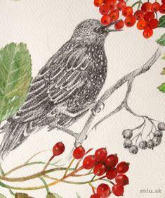Jarabina vtáčia a Jarabina mukyňová (čeľaď Rosaceae) – miu.sk