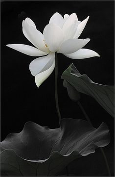 """The lotus is a flower that grows in the mud. The thicker and deeper the mud the more beautiful the lotus blooms."""