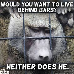 It's National Monkey Day! Discuss the difference between the lives that monkeys want to live versus the lives they are forced to live in laboratories. #LessonPlan #Monkeys #HumaneEducation