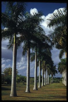 Royal palm; Homestead, FL (March 1, 1953) missing this!