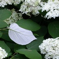 Hydrangea arborescens ssp radiata 'Samantha'  Description: Imagine H. 'Annabelle' with leaves backed in pure silver and you are close to this plant. Found by Clarence Towe in GA.