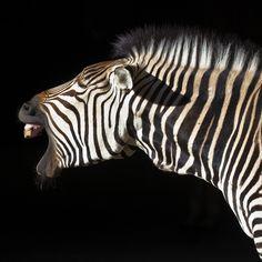 yawning zebra