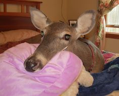 HAVE YOU HEARD OF DILLIE THE DEER?  THIS IS AN ULTRA-CUTE, MUST-SEE STORY!  This is Dillie.  Isn't she cute?  She reminds me of my dog laying her head on the pillow!  Dillie was born blind on a farm.  A farmer brought the poor blind dying Dillie to her current owner, who is a vet and nursed her back to health.   She now lives in Canal Fulton, Ohio, and has become an integral part of the family, complete with her own room!