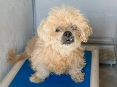 SPECIAL NEEDS NEGLECTED SENIOR. 11yrs old and out of time. Please help by sharing for rescue, pledging, fostering. Help! NEUTERED MALE , BLONDE CAIRN TERRIER MIX, Age: 11 YEARS , Additional Info: CHERRY EYE, SKIN ISSUES/DENTAL ISSUES Intake Condition: APC This animal has been at the shelter since 06/03/2014. Review Date: 06/07/2014 OC Animal Care. 561 The City Drive South, Orange, CA. 92868 Telephone: 714.935.6848