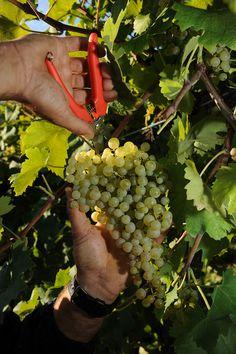 Glera grape harvesting. #Conegliano Valdobbiadene #Prosecco #Vendemmia2013