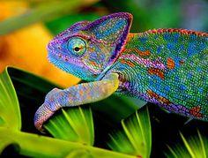 costa rican variable harlequin toad - Google 검색