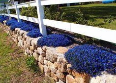 The blazing blue Lithodora : Garden Notes : The Martha's Vineyard Times