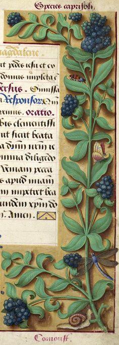 Comoust - Species caprifoli (plante difficile à [identifier?]) -- Grandes Heures d'Anne de Bretagne, BNF, Ms Latin 9474, 1503-1508, f°202r
