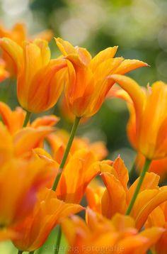 """Tulipa """"Ballerina"""", Tulpe, Tulpen"""
