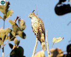 ☎️ https://www.facebook.com/WonderBirdSpecies/ 🌷🌷 Jerdon's baza (Aviceda jerdoni); Southeast Asia; 📚 IUCN Red List of Threatened Species 3.1 : Least Concern (LC)(Loài ít quan tâm) 🐥 Diều hoa Jerdon; Đông Nam Á; HỌ ƯNG - ACCIPITRIDAE (hawks, eagles, kites, harriers and Old World vultures).