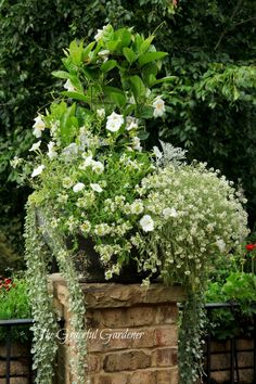 Ingredients: Sun Parasol White Mandevilla, 'Diamond Frost' Euphorbia, Lobularia 'Frosty Knight', Scaevola 'Bombay', Supertunia white, White geranium, Dusty Miller 'Silverdust', trailing Mezoo, 'Silver Falls' Dichondra.