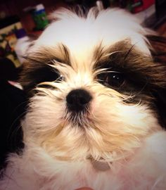 Say hi to Gus our sweet little Shih Tzu puppy!  Too cute for words