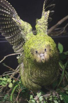 Kakapo Creature Design, Parrots, Wild Animals, Terra, Kiwi, Tattoo Inspiration, New Zealand, Woods, Wildlife