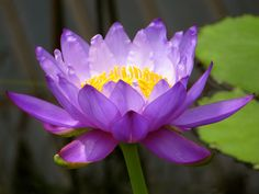 Water Lily (Photo by Zuzanne)