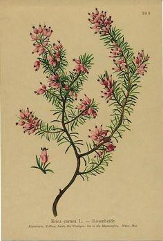 Alpine flowering plants Erica carnea 1890 antique color lithograph print