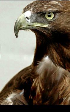 Beautiful Brown Eagle