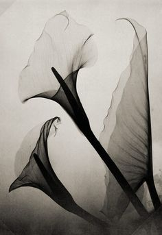 Untitled (Calla Lily X-Ray)  by Thomas W. Louyle, 1930 pinned with Bazaart