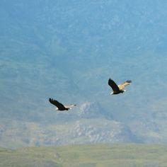 White tailed Eagles Oban