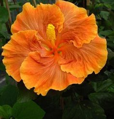 Growing hibiscus is an easy way to add a tropical flair to your garden. When you know how to care for hibiscus plants, you will be rewarded with many years of lovely flowers. Growing Hibiscus From Seeds. Flowers Perennials, Amazing Flowers, Pretty Flowers, Blossom Garden, Hibiscus Plant, Gumamela, Hibiscus Rosa Sinensis, Hibiscus Flowers, Hibiscus