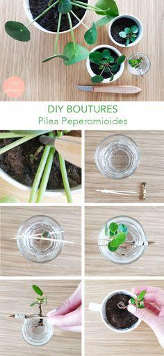 DIY PLANTES : Comment bouturer une PILEA PEPEROMIOIDES? C'est super simple! Diy Plante, Decoration Plante, Herbs Indoors, Green Plants, Permaculture, Plant Decor, Gardening Tips, House Plants, Planting Flowers