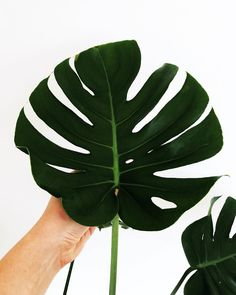 Love my monstera it has grown so much! 🖤 other then I minor incident with the hoover it is doing very well! #plantlove #plantlady #monstera #monsteradeliciosa #inthestudio #creativespace #homestyle #botanicallove #studioscenes #houseplants #whatsonmydesk #urbanjungle #thatsdarling #thehappynow #aconsideredhome #minimalism #flashesofdelight #graphicdesigner #illustrator #minimalista #freelancer