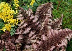 """Japanese Painted Fern (Athyrium 'Burgundy Lace'):  Our #1 selling hardy fern!  Gorgeous metallic burgundy leaves are brightest in spring.  Part to full shade; fertile, moist soil with good drainage;  24""""H x 28""""W;  Zones: 4 to 9. - Terra Nova Nurseries"""