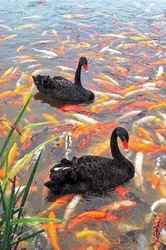 A pair of black swans surrounded by colorful carp.