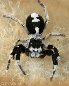 Eresus albopictus Araignée ❤