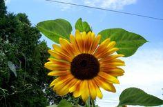 Heirloom Sunflower 40+ Seeds My Own Variety Harvested 2013 #myownharvested2013