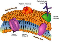 Microbiology...  Currently what I am enduring...  A phospholipid bilayer...  :/