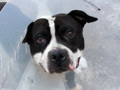TO BE DESTROYED!!!! 03/29/14! Brooklyn Center  BRAD aka HAYES aka HENRY - A0994580  MALE, BLACK / WHITE, AM PIT BULL TER MIX, 1 yr STRAY - STRAY WAIT, NO HOLD Reason STRAY Intake condition NONE Intake Date 03/22/2014, From NY 11212, DueOut Date 03/25/2014, Medical Behavior Evaluation GREEN https://www.facebook.com/photo.php?fbid=778265375519677&set=a.617941078218775.1073741869.152876678058553&type=3&theater