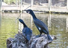 A pair of male and female white-breasted cormorants at work building a nest. ~ San Diego Wild Animal Park.