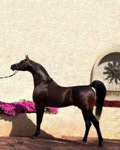 DA Valentino. Sire: Versace (Fame VF x Precious As Gold by *El Shaklan)  Dame: out of the Padrons Psyche daughter DA Love (x Magnifficaa FA by Echo Magnifficoo)