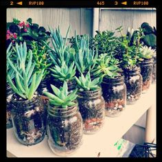 Succulents in mason jars