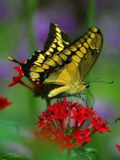 Hermosa ,mariposa vagarosa.