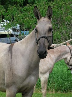 Gorgeous Grulla Mule