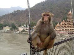 monkey in Rishikesh.