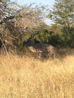 Fine Kudu Bull seen by Africa: Live app user James