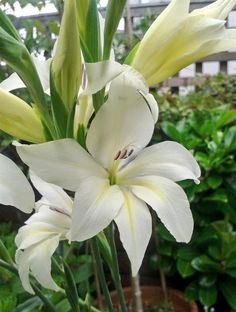 My most favorite flowers in the garden this morning... gladiolus colvillei 'the bride':) http://www.sarahraven.com/flowers/bulbs/gladioli/gladiolus_colvillei_the_bride.htm - Thanks Mia for sharing this gorgeous pic with us on Twitter
