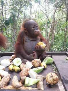 The holidays are coming up and what better present than to give the gift of adopting a baby orangutan in need! Cute Funny Animals, Cute Baby Animals, Animals And Pets, Funny Monkeys, Strange Animals, Cute Creatures, Beautiful Creatures, Animals Beautiful, Baby Orangutan