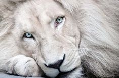 Haldir, white African lion (Panthera leo krugeri, lev africky - bila forma) from ZOO Bratislava, Slovakia there are only few white lions, so this one is. White lion Haldir: look into your soul Beautiful Cats, Animals Beautiful, Majestic Animals, Beautiful Images, Exotic Animals, Unusual Animals, Animals And Pets, Cute Animals, Wild Animals