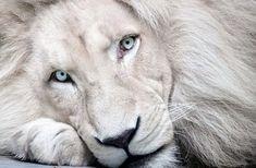 leão albino