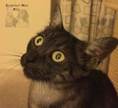 Egyptian Mau-black smoke-beautiful cats-Katzenblog-Katzenaugen Egyptian Mau, Black Smoke, Beautiful Cats, Animals, Cat Eyes, Pictures, Pretty Cats, Animales, Animaux