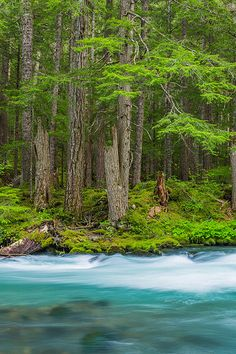 Dungeness River, between trailhead for Upper Dungeness Trail & the junction with Royal Basin Trail, in Olympic National Forest, Washington State, USA