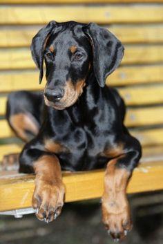 Top 10 Most Beautiful Dog Breeds   10 Most Dangerous Dog Breeds - Doberman Pinscher Dogs   Dog Bite ...