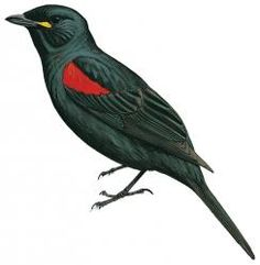 Red-shouldered Cuckoo-shrike (Campephaga phoenicea)