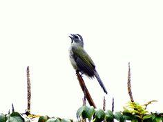 Foto trinca-ferro-verdadeiro (Saltator similis) por Gesiel Soares Diniz   Wiki Aves - A Enciclopédia das Aves do Brasil