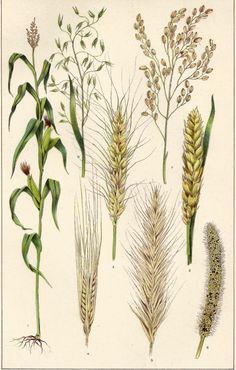 Botanical Print Cereals Grain Corn Wheat Barley Rye Millet Rice Oats Antique 1909 Lithograph Great to Frame Vintage Botanical Prints, Botanical Drawings, Botanical Art, Vintage Prints, Illustration Botanique Vintage, Impressions Botaniques, Plant Drawing, Wheat Drawing, Corn Drawing