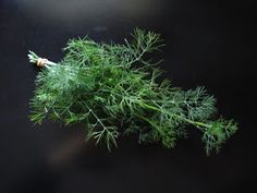 Dill, harvest, dry and store instructions
