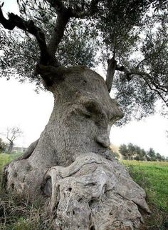 """Thinking Tree"" an ancient olive tree in Puglia Italy.The ""Thinking Tree"" an ancient olive tree in Puglia Italy. Weird Trees, Spooky Trees, Tree People, Tree Faces, Unique Trees, Old Trees, Nature Tree, Flowers Nature, Olive Tree"
